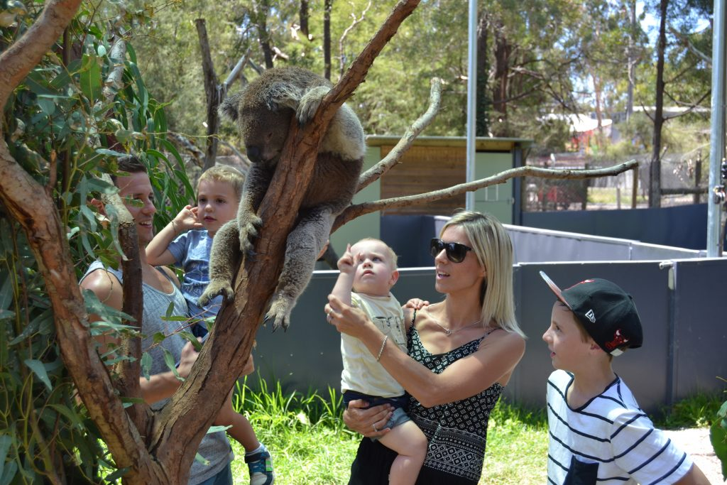 Koala experience at Healesville Sanctuary