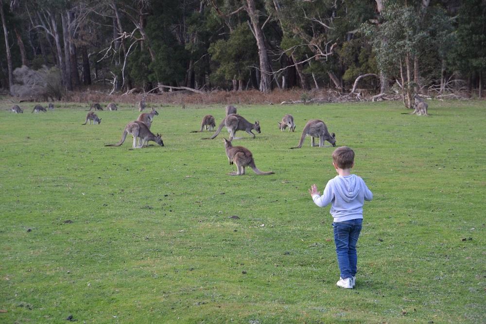 Kangaroos on the Fyans Creek Loop, Halls Gap2