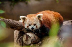 Red Panda - Halls Gap Zoo