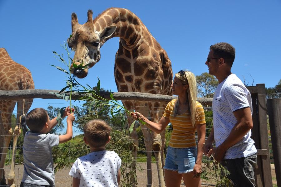 Feeding Giraffes Werribee Zoo Animal Encounter