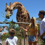 Feed Giraffes at the Werribee Zoo with Wild Animal Encounters