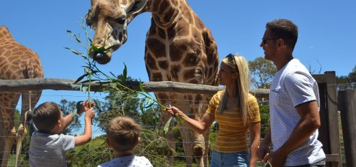 Feeding Giraffes Werribee Zoo Animal Encounter Melbourne