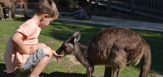 Kids Feed Kangaroos at Ballarat Wildlife Park