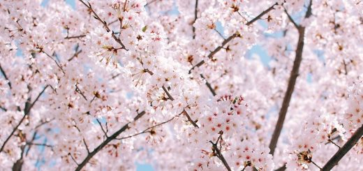 Cherry Blossoms in Seoul and South Korea