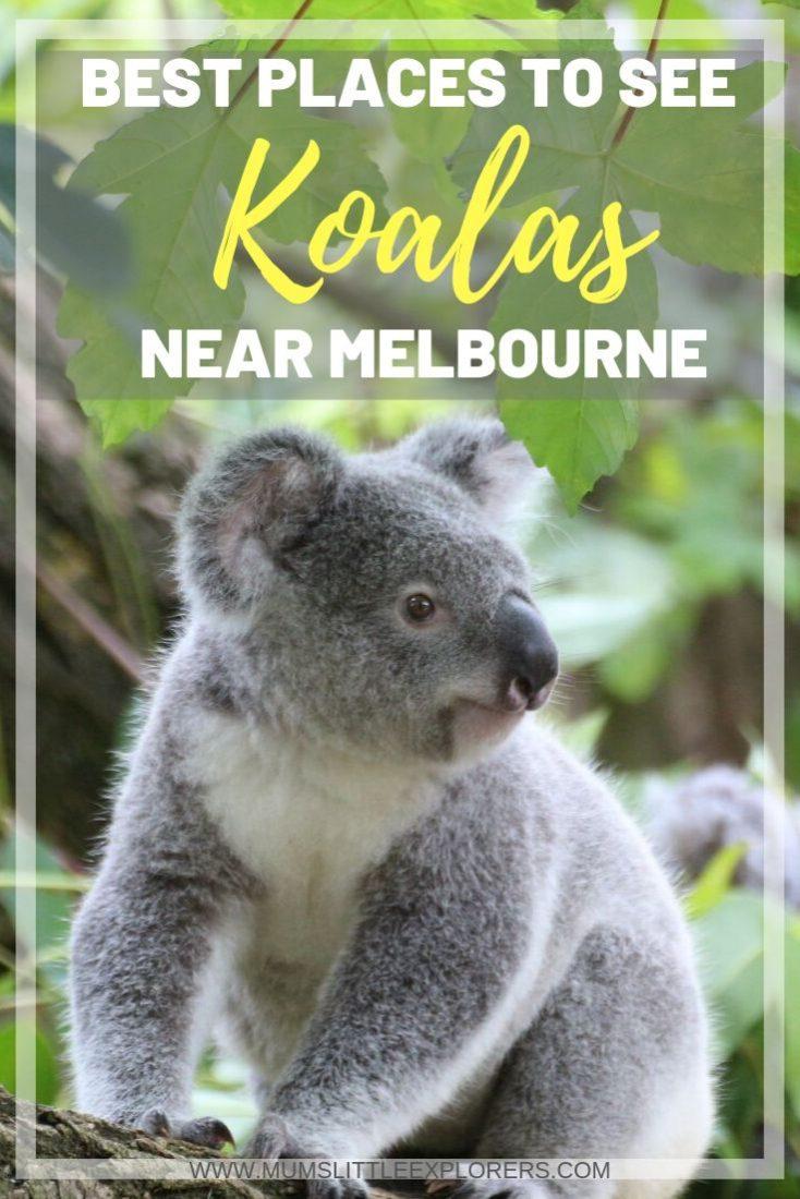 Koalas in Melbourne in the wild