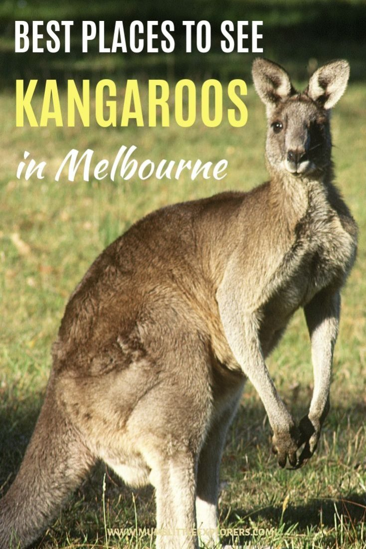 Where to see kangaroos in Melbourne