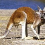 9 Guaranteed Places where you can see Kangaroos in Melbourne