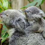 8 Places To See Koalas In Melbourne and around