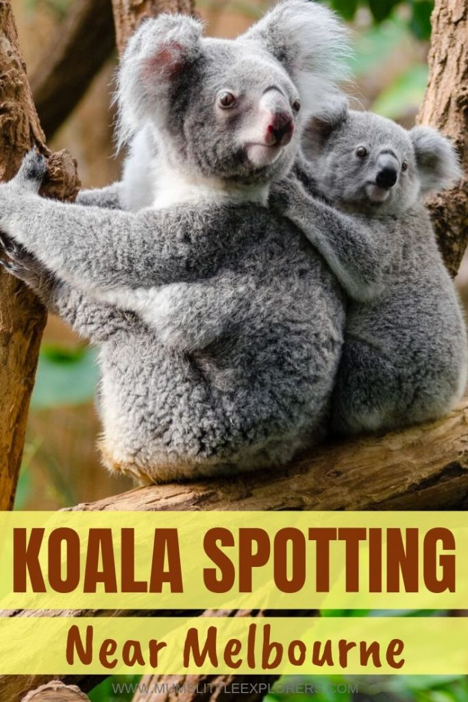 Where to see Koalas in Melbourne and around
