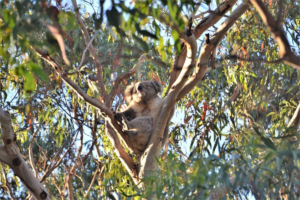 Sleep under the koalas at Bimbi Park