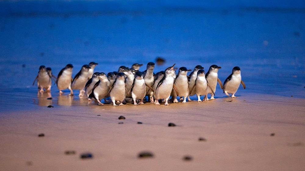 Phillip Island Penguin Parade