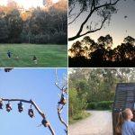 Flying Foxes at Yarra Bend Park & Bellbird Picnic Area, Kew